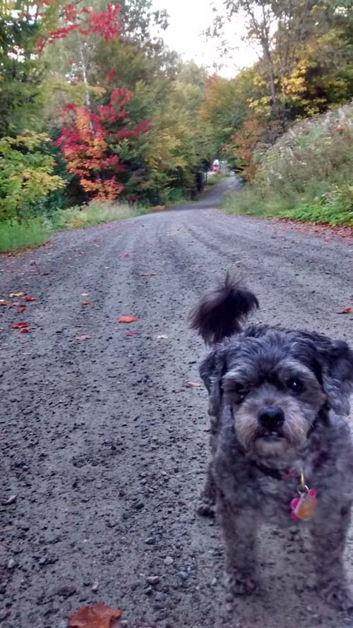 image of small gray dog on a road