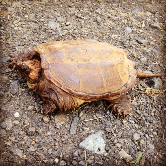 A snapping turtle!