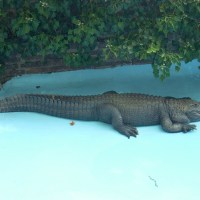 The oldest alligator living in captivity