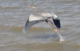 Heron Copyright Shelagh Donnelly