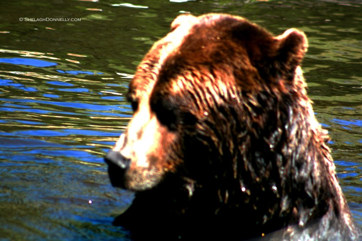 Grizzly 4996 Copyright Shelagh Donnelly