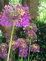 Allium 5855 Copyright Shelagh Donnelly