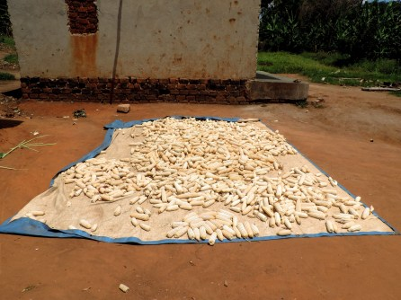 An example of a good production practice: using a tarp to protect the maize from dirt and other bacteria