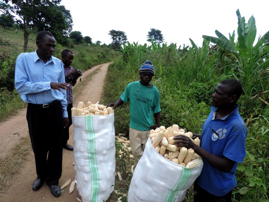 Farmers packing maize from the fields