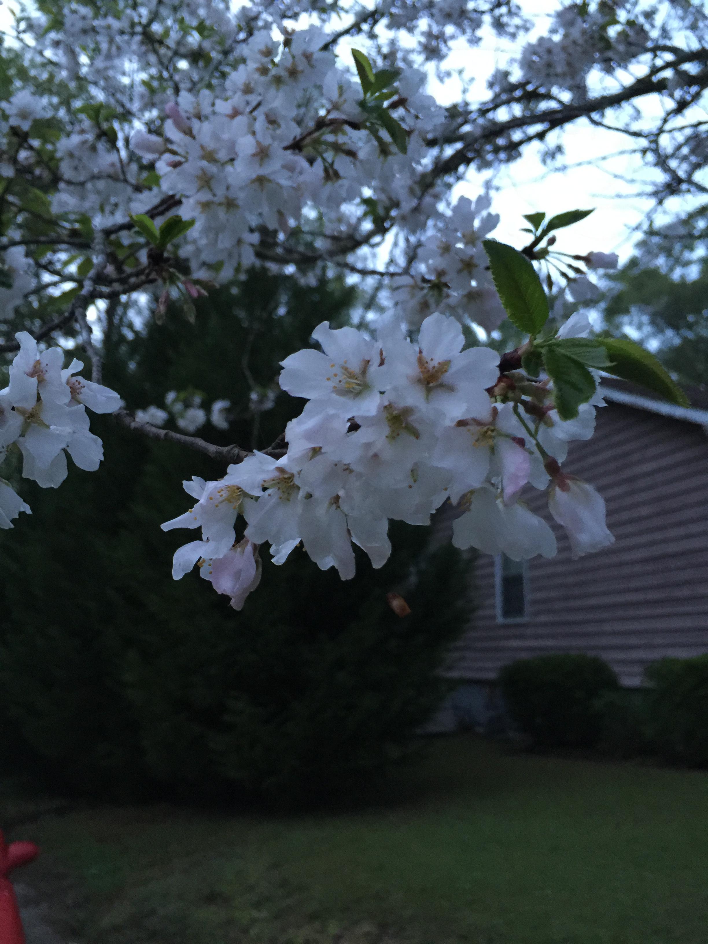 SBarnett Cherry Blossoms