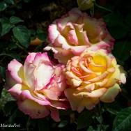rosenschau-0698