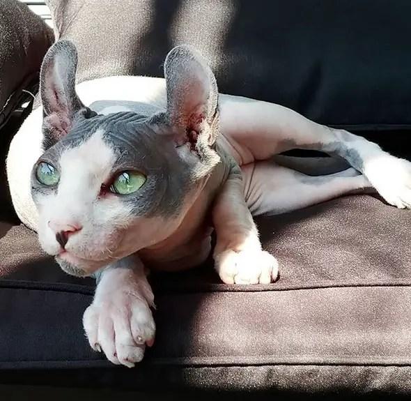 Remy the Gargoyle Sphynx hairless cat