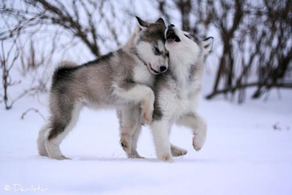 baby wolves in snow