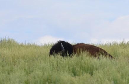 amimal bison