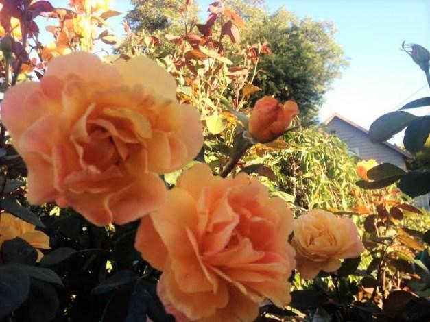 Roses #6