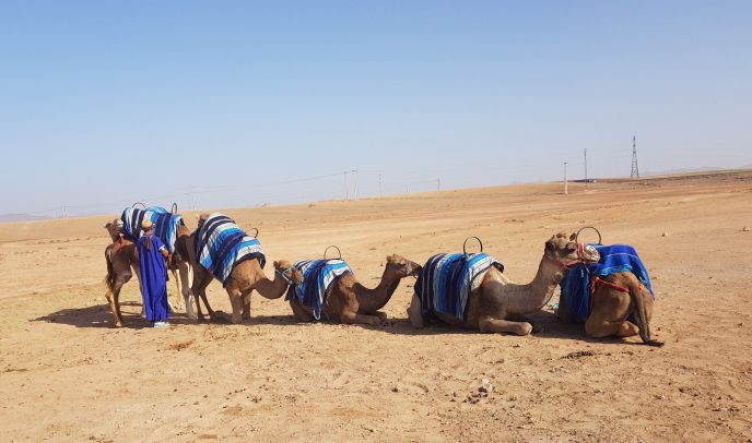 stooping camels