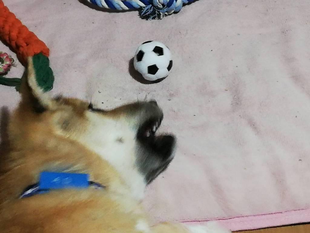 岡山保護犬あおの1日新しいおもちゃ