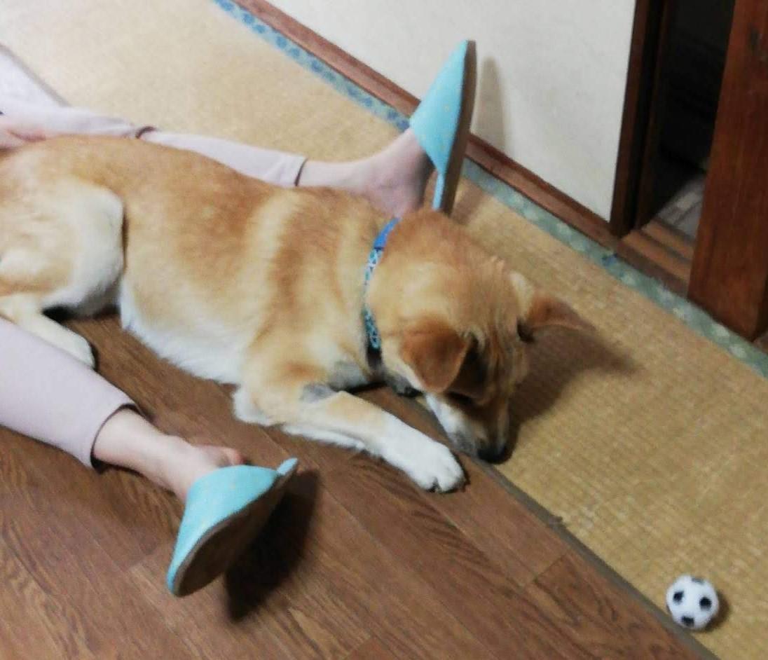 岡山保護犬あおの一日、ね~さんの膝の上