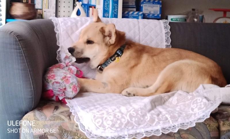 岡山保護犬あおの一日、お気に入りのクッション