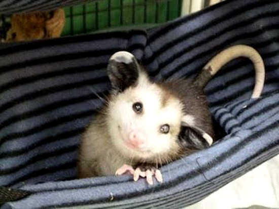 """Greenville, SC Opossum Rescue and Rehab — AKA """"The Opossum's Pouch"""" — is helping this misunderstood marsupial"""