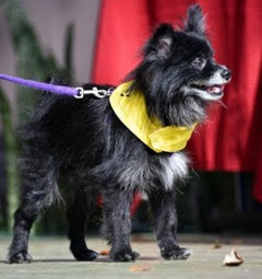 Monty is a stunning 9YO Pom. Likely used for breeding by a hoarder, he was in rough shape, with a severe skin condition and was in need of an eye removal. He has completed his treatment plan and is ready for his quiet forever home! He is for adoption!