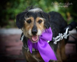 Scooter is a handsome 8YO doxy/basset mix. He came with a back injury. He has completed his rehabilitation and has regained 40% mobility, however uses his cart to keep him mobile. Scooter is available for adoption!