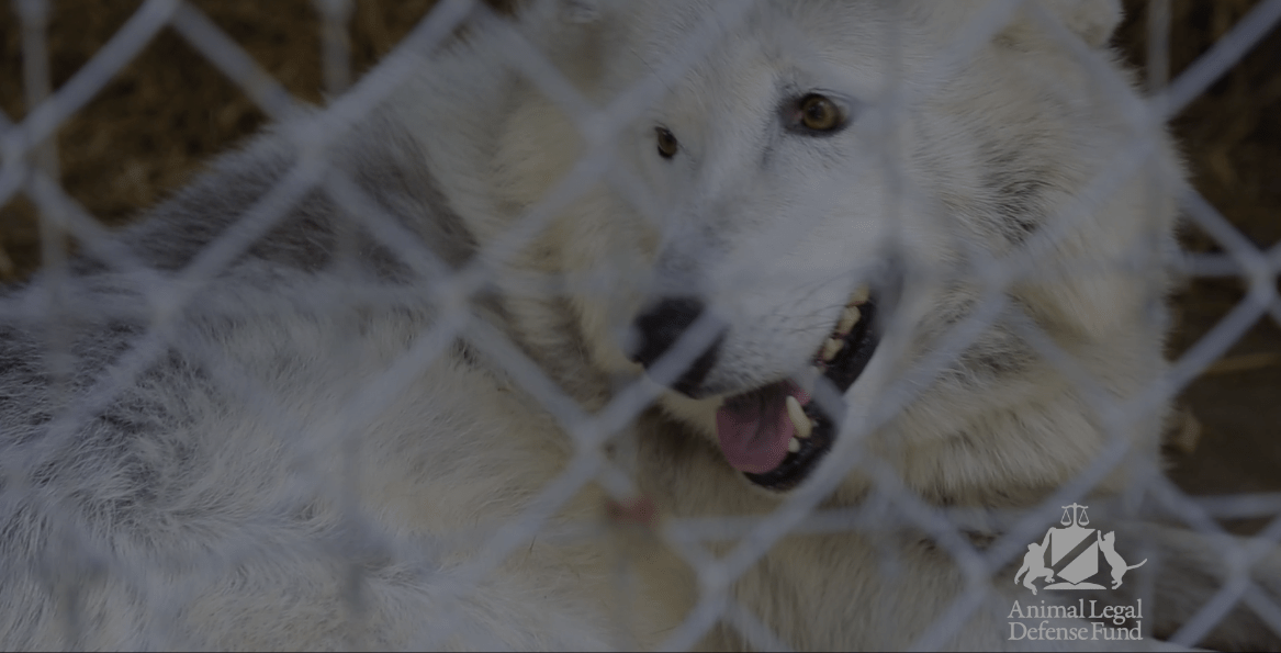 Bear. the grey wolf, arriving at sanctuary, Courtesy ALDF