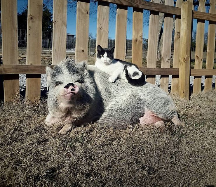 "After Months Of Waiting, Two Not-So-Little Piggies Squeal ""We We We Got Rescued!"""
