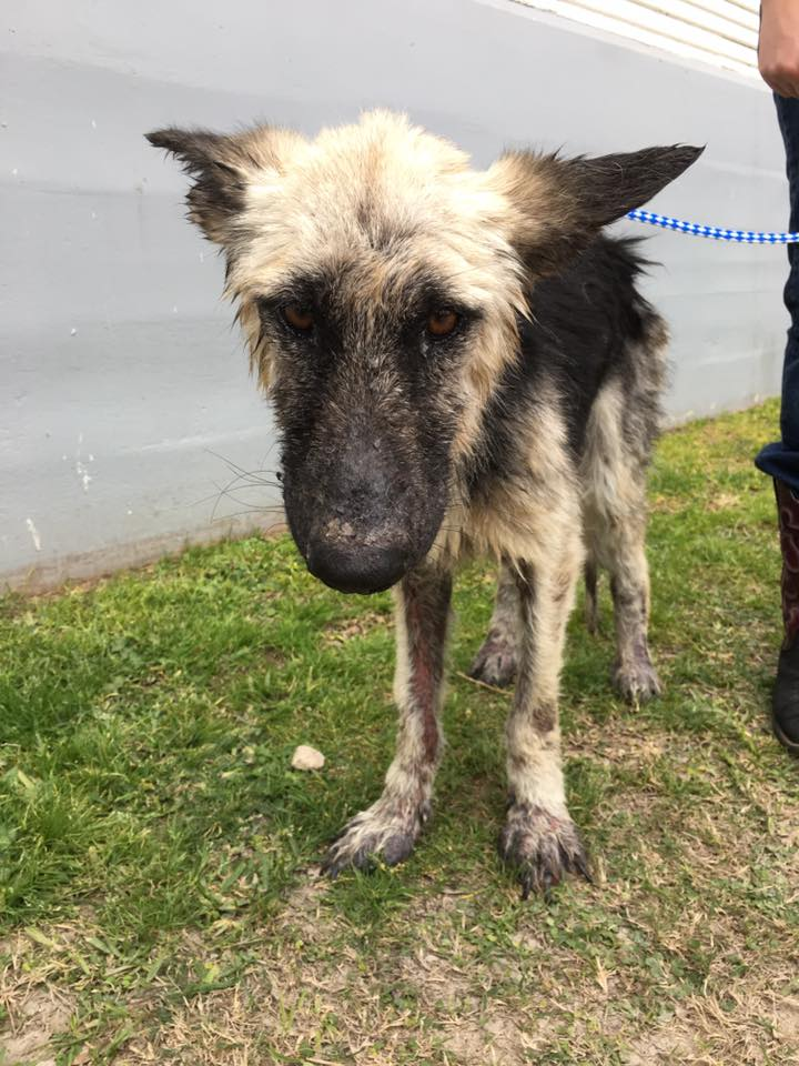 What Happened When a French Bulldog Rescue Saw An Emaciated 30-Pound German Shepherd at the Shelter?