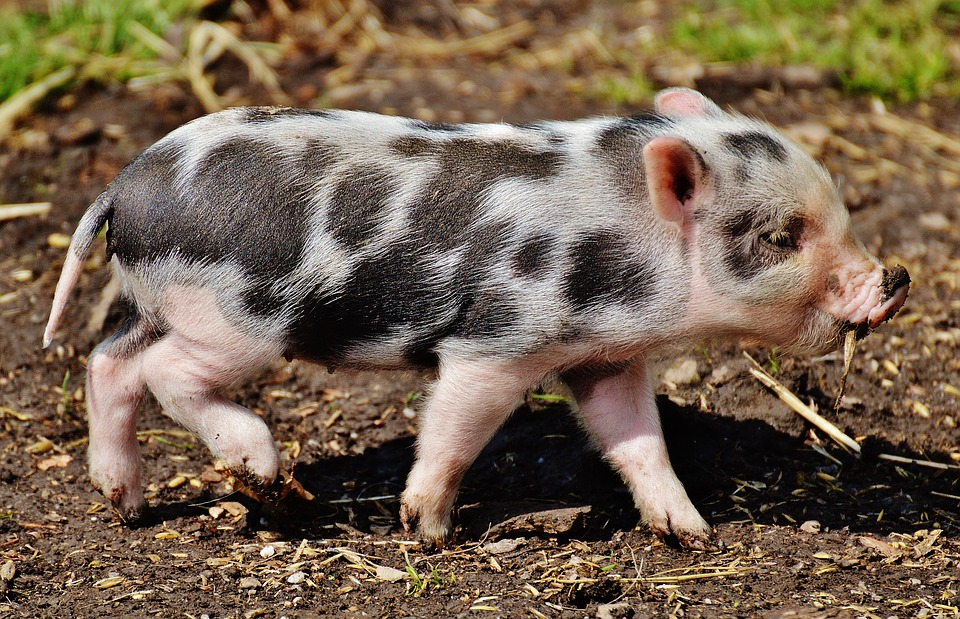 Animal Rescue: Micro-pig fad a growing problem