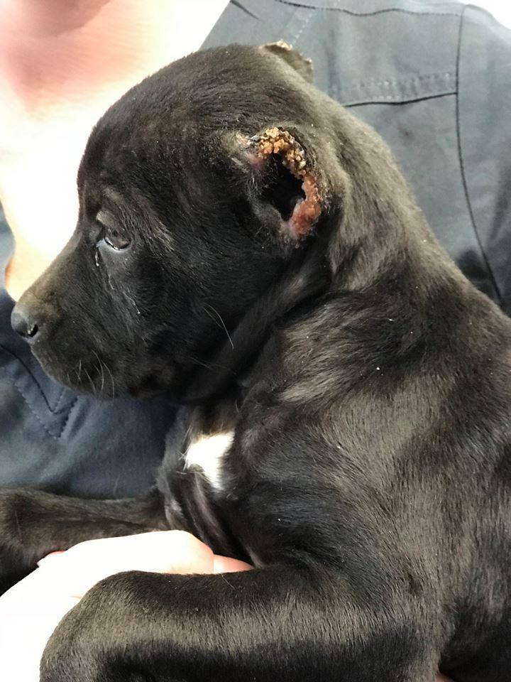 Good Samaritan Rescued Mutilated Puppy Who Was Thrown Away