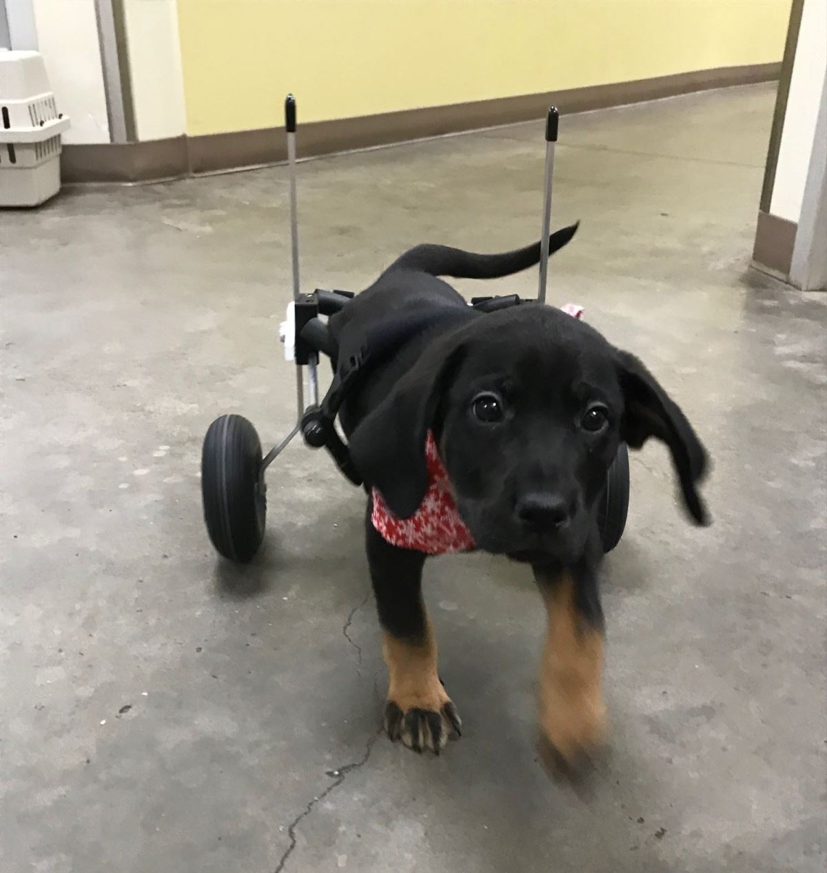 Paralyzed Puppy Gifted New Wheels Thanks To Animal Shelter