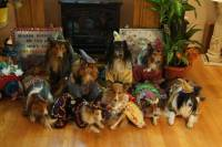 Sheltie Nation | Oh boy here we go!