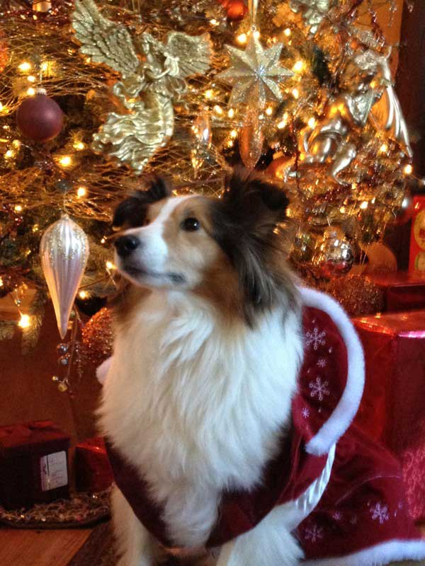 Fall Out Boy Wallpape Sheltie Nation Archive Holiday Shelties