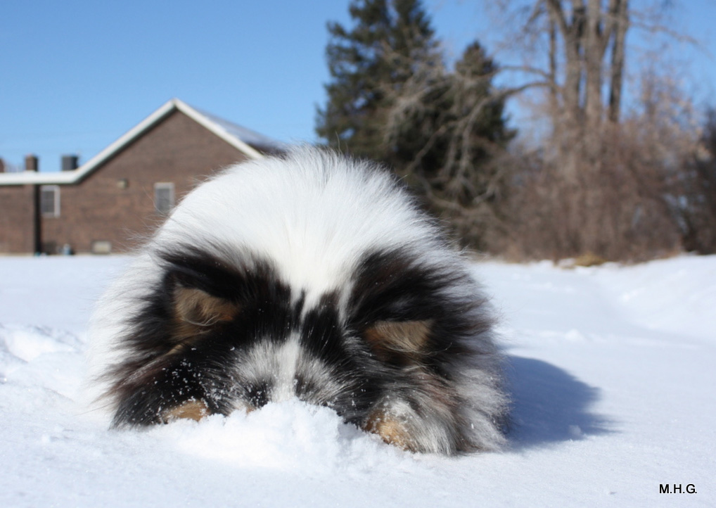 Fall Out Boy Wallpaper Sheltie Nation Archive Snow Shelties
