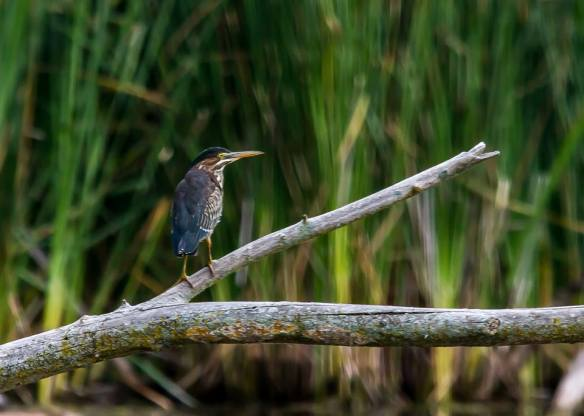 Photo Credit: Mike Moffat, Green Heron at Grindstone Creek