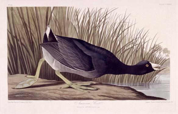 aud-plate-239 Toronto Public Library American Coot Audubon, John James, 1785-1851