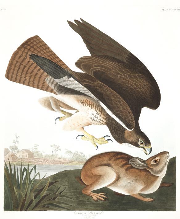 Swainson's Hawk (common buzzard)