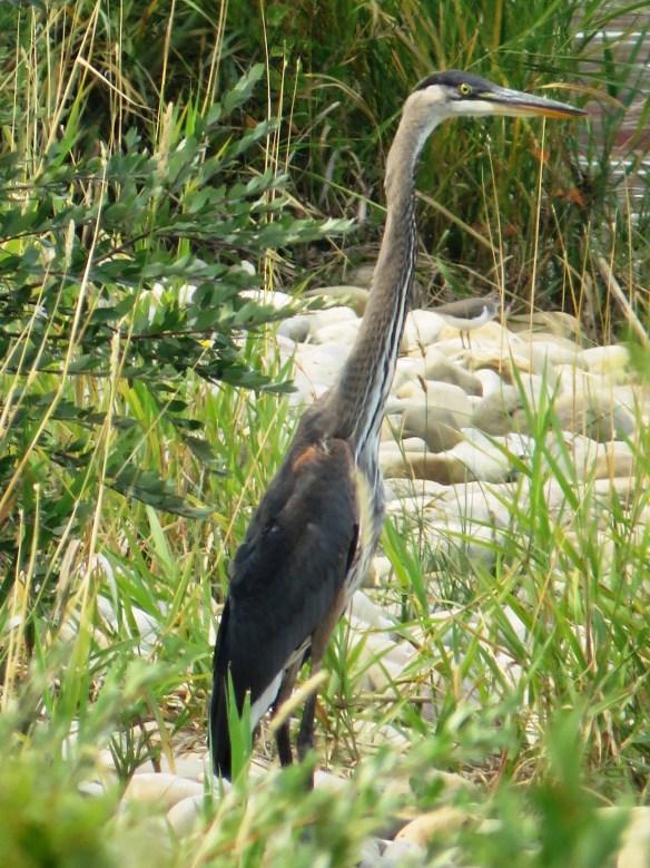 Kath's Canon August 26, 2015 Heron Dying Bird 084