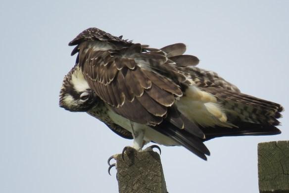 Kath's Canon August 29, 2015 Osprey, Hawk, Kingfisher 044