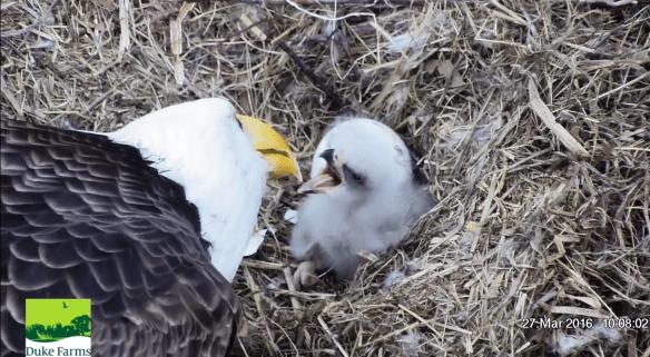 Duke 812 March 27 2016 Feeding Easter Morning