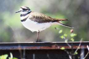Facebook 14 Killdeer