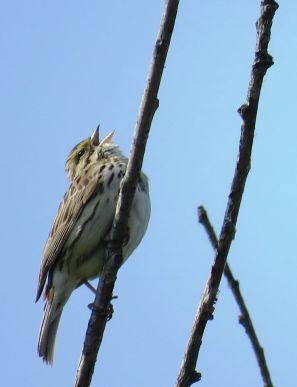 Facebook 15 Savannah Sparrow