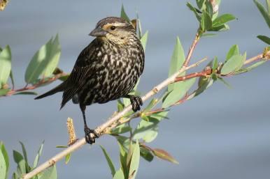 Facebook 2 Female Black Winged Black Bird