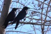Facebook 30 Common Crow