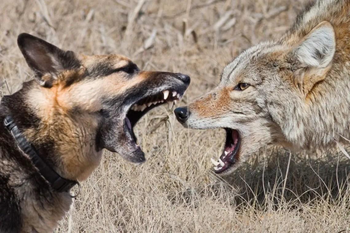 Can A German Shepherd Kill A Coyote