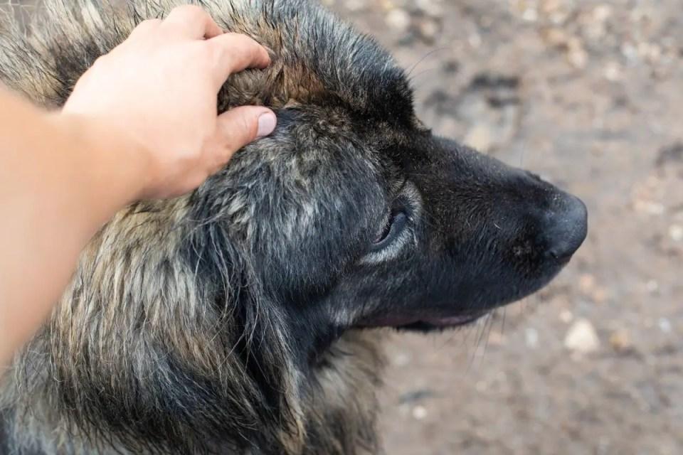 Caring For A Caucasian Shepherd