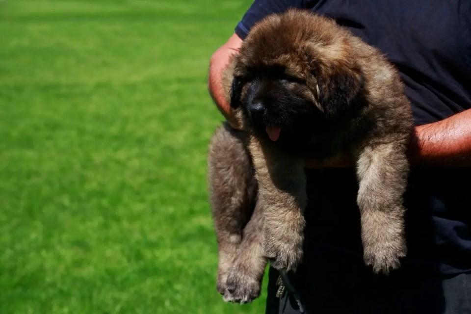 Caucasian Shepherd Puppy