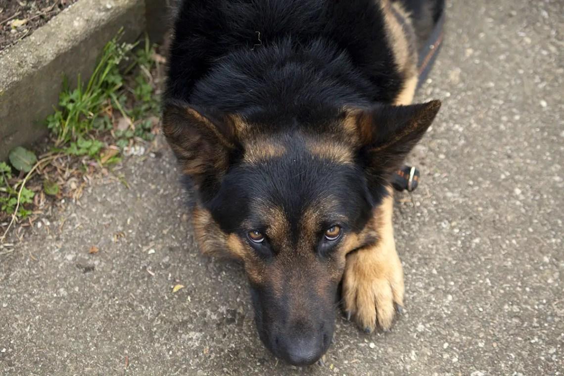 German Shepherd Personality Traits