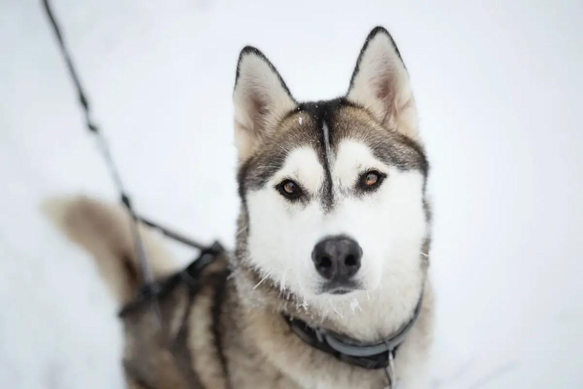 Wolf Like Dog Breeds