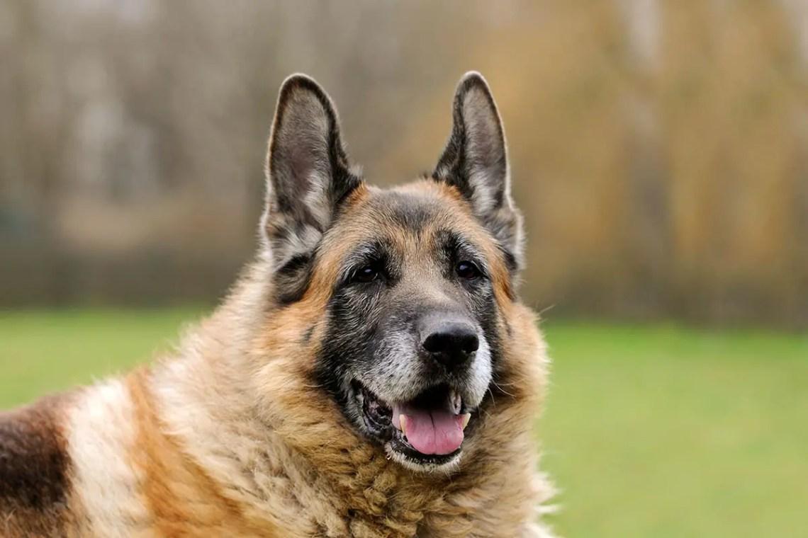 German Shepherd Lifespan - How To Increase It