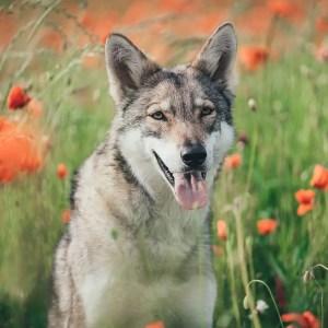 German Shepherd Wolf Mix