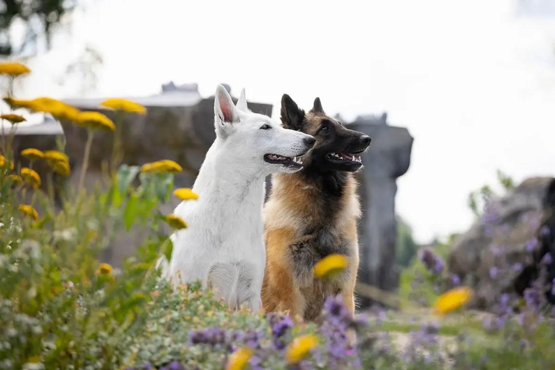 German Shepherd Look Alike Dog Breeds