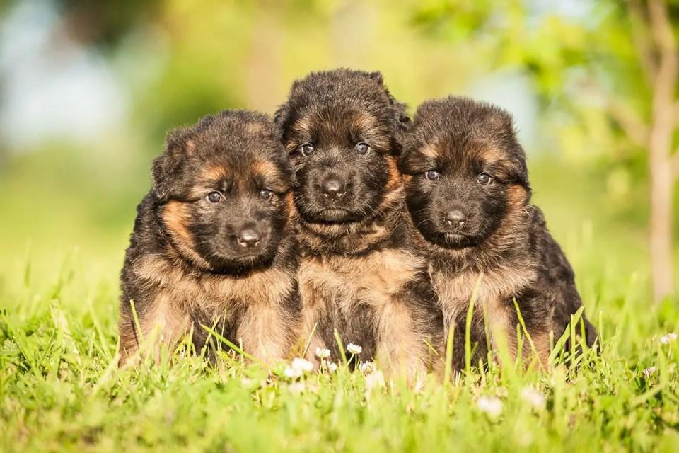 German Shepherd Puppies Litter Three