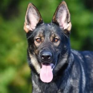 Dark Sable German Shepherd